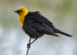 _DSC6514pb.jpg  Yellowhead Blackbird 2