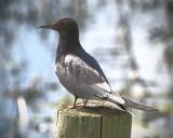 _DSC6466pb.jpg  Black Tern