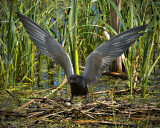 _DSC6701pb.jpg Black Tern on the Nest