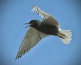 _DSC6688pb.jpg  Black Tern Feeding on Insects