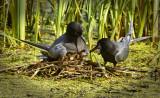 _DSC6888.jpg Black Tern