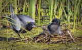 _DSC6924.jpg  Black Tern Two