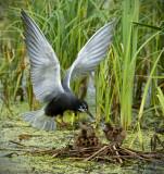 _DSC7915pb.jpg Three Baby Black Terns