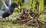 _DSC7909.jpg Black Terns