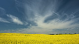 _SDP6144.jpg Canola Fields of Alberta
