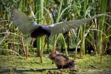 _DSC8031pb.jpg Three Black Terns