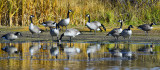 _DSC0467pb.jpg  Geese at the By the Lake Park
