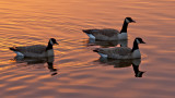 _SDP7528.jpg    Three Friendly Canada Geese