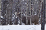 _SDP7740.jpg   Buck Mule Deer sometimes called a Black Tail