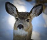 _DSC0828pb.jpg  Doe Mule Deer