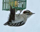 _DSC3376pb.jpg  The Downy Woodpecker  Male