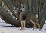 _DSC3434pb.jpg  Mule Deer sometimes called black tail deer