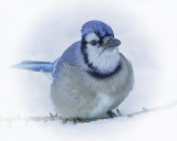 _DSC3783a.jpg  One More Blue Jay