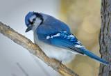 _DSC3784apb.jpg The Blue Jay