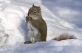 _DSC4176.jpg The Common Squirrel
