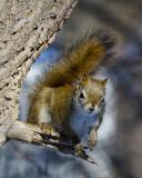 _DSC4178pb.jpg Another Squirrel
