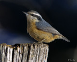 _DSC5162pb.jpg  Red-breasted Nuthatches