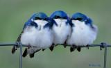 _DSC7644.jpg  Three Swallows