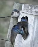 _DSC7609pb.jpg The Tree Swallows
