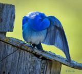 _DSC7756.jpg  trusting bluebird male