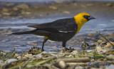 _DSC7681.jpg  Yellow-headed Blackbird