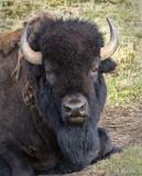 _DSC8258pb.jpg This is not a Buffalo'