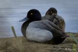 _DSC8402.jpg  The Diving Ducks