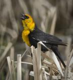 _DSC8427pb.jpg  Yellow Headed Blackbird