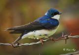_DSC8601.jpg  Tree Swallow