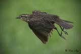 _DSC9016.jpg   Female Red-Wing Black Bird