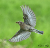 _DSC9841.jpg  Female in Flight