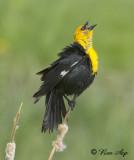 _DSC0131s.jpg Yellow Head Blackbird sing the Blues