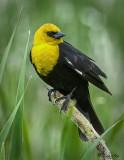 _DSC0215s.jpg  Yellow-headed Blackbirds