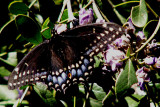 3-17-2014 Black Swallowtail.jpg