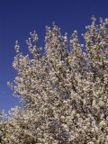 3-12-2015 Bradford Pear Tree in Bloom  2.jpg