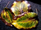 10-8-2015 Bradford Pear Tree Autumn 1