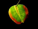 11-20-2015 Bradford Pear Tree Leaf 3