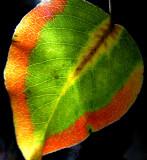 11-20-2015 Bradford Pear Tree Leaf 4