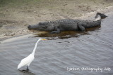 Alligator and Great White Egret
