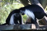 Angolan Black  White Colobus