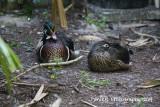 Wood Duck 041314 2.JPG