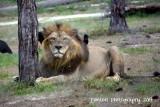 African Lion 051114 42.JPG