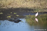 Alligator and Spoonbill