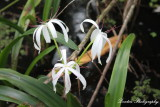 Swamp Lilly