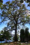 Century tree in Gui-ob Church Ruins