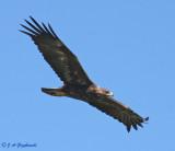 subadult Golden Eagle