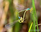 Rainbow Bluet (Enallagma antennatum)