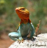 Eastern Collared Lizard (Crotophytus collaris collaris)