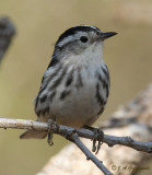 What? I am a Black and White Warbler