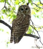 Barred Owl in light